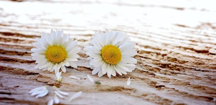 daisy-747320_1920.jpg